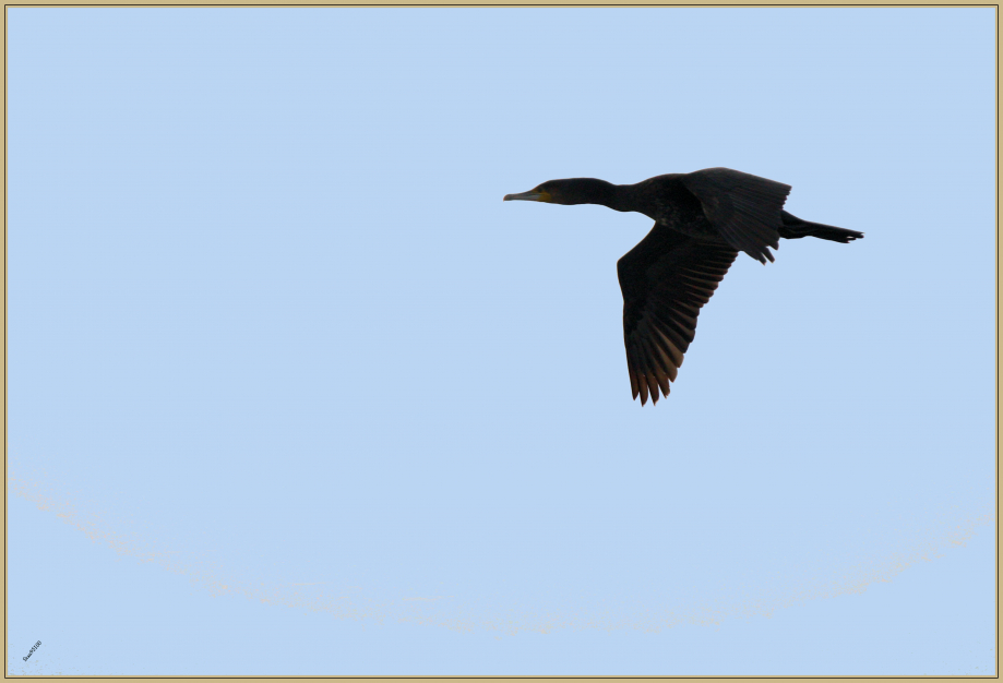 272Q9155 Grand cormoran.jpg