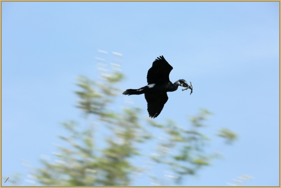 UE8A6435 Grand cormoran.jpg