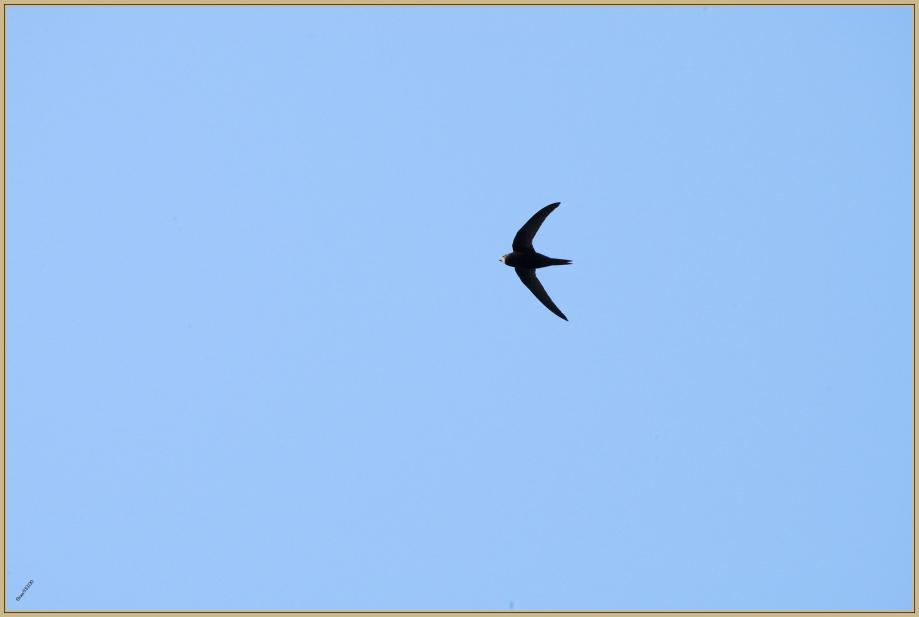 272Q6389 pour  05-05-2018 martinet.jpg