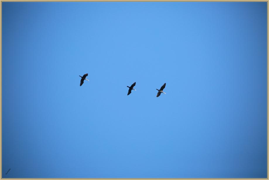 UE8A7862 Grand cormoran.jpg