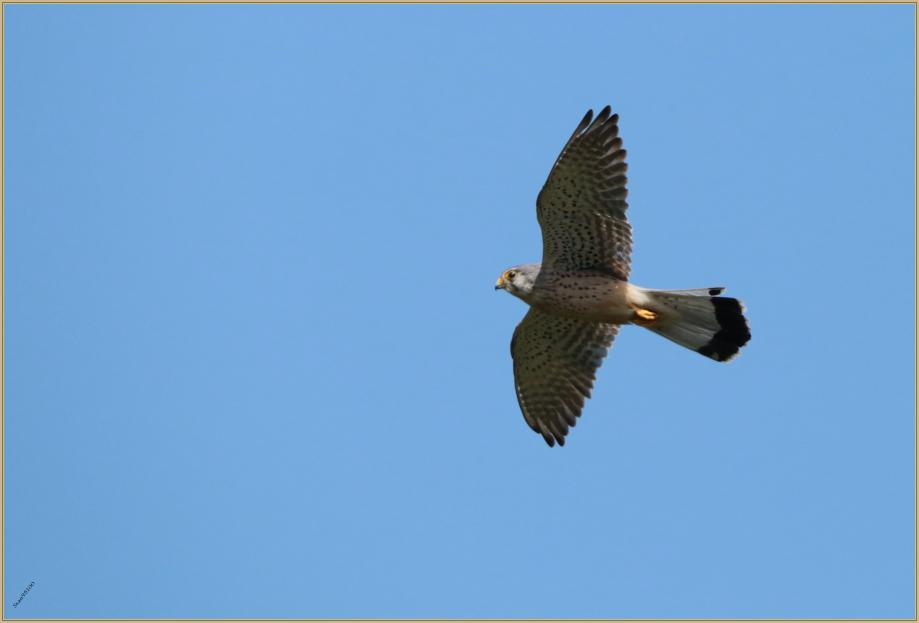UE8A8247 Faucon crecerelle.jpg