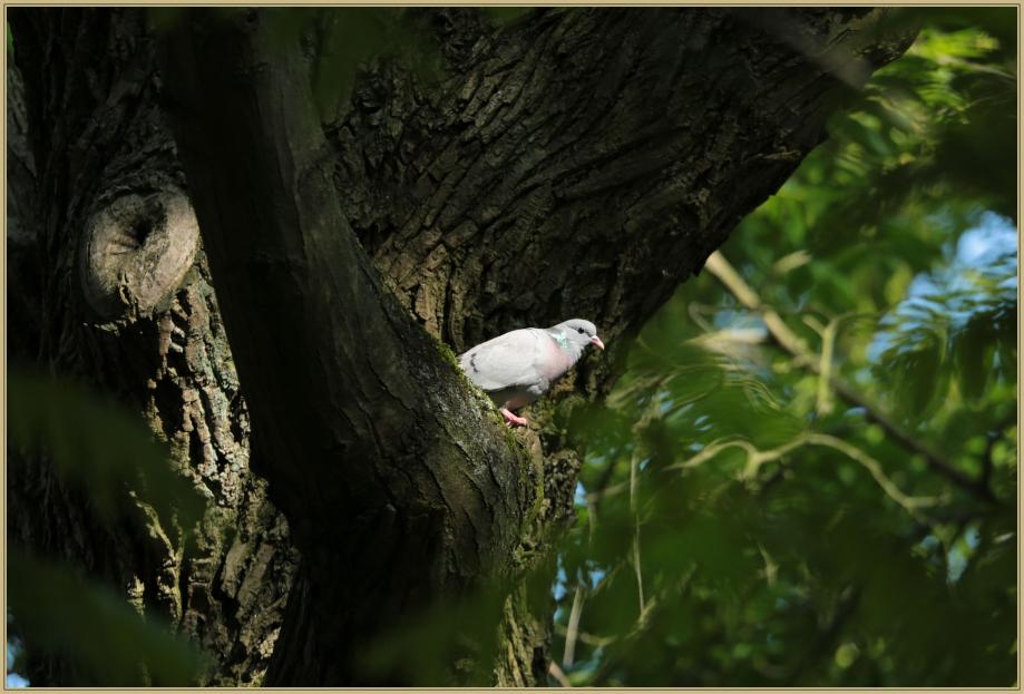 UE8A8581 Pigeon colombin.jpg
