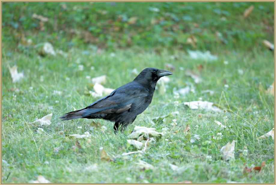 UE8A8505 Corneille noire.jpg