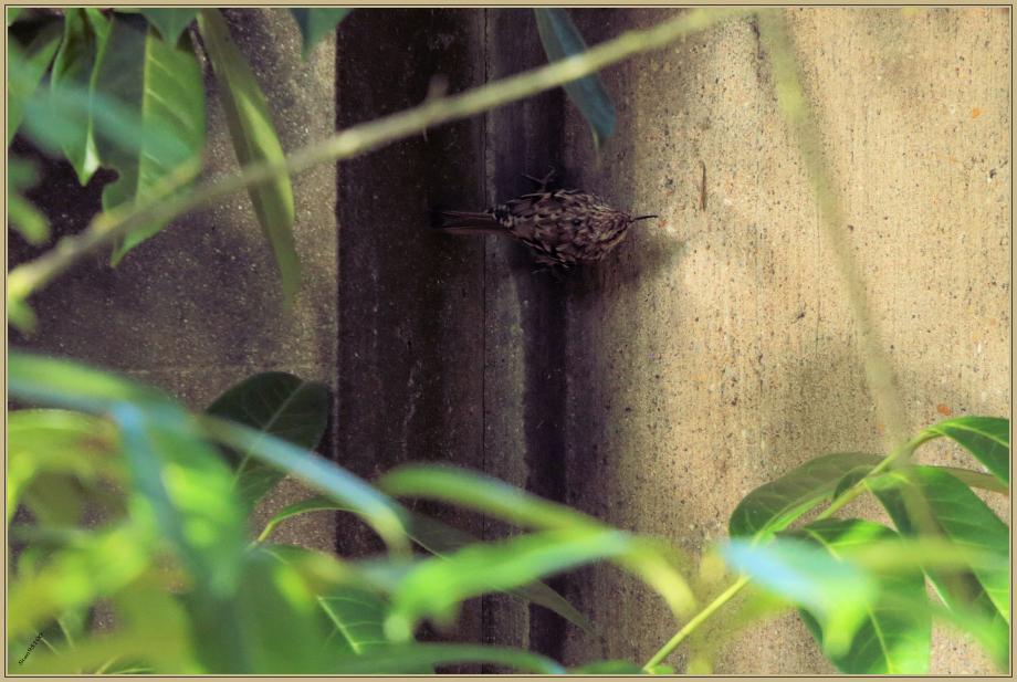 UE8A8785 Grimpereau des jardins.jpg