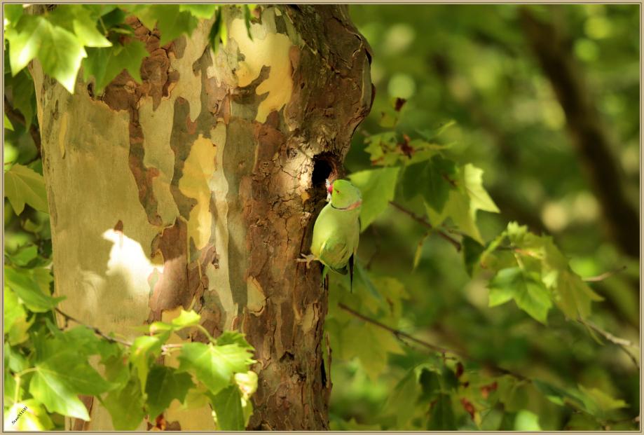 UE8A8847 Perruche à collier.jpg
