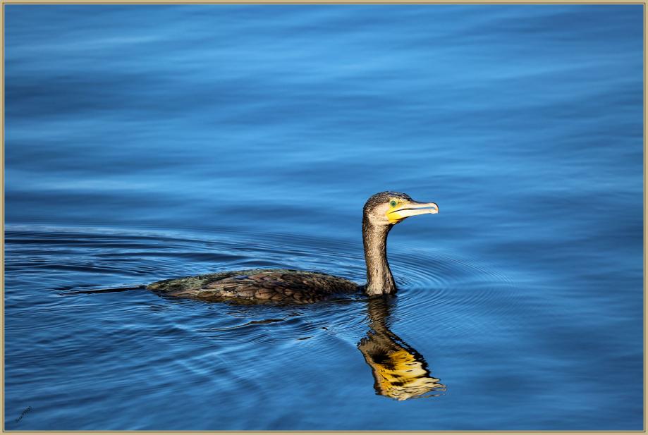 UE8A2354 Grand cormoran.jpg