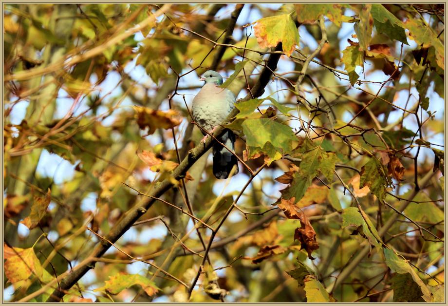 UE8A2792 Pigeon colombin.jpg