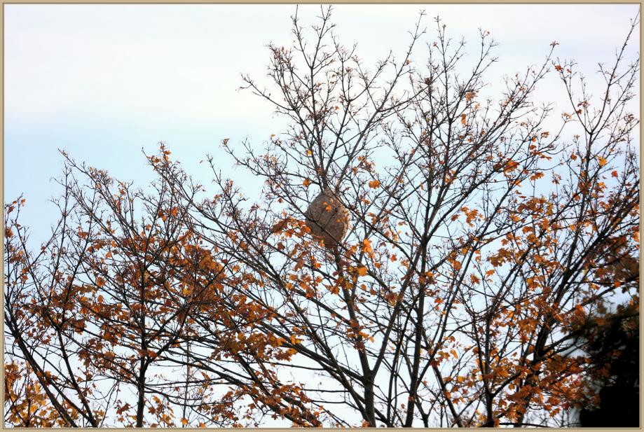 UE8A2807 nid de frelon-.jpg