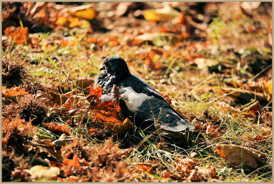 UE8A2885 pigeon biset -.jpg