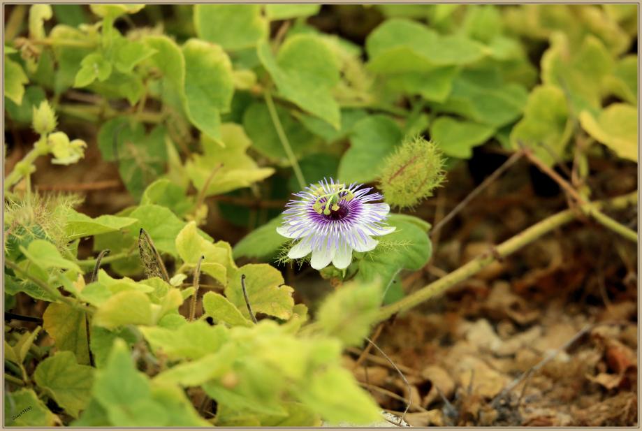 UE8A4555 fleurs mauve .jpg