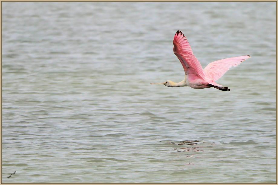 UE8A4697 Spatule rosée.jpg