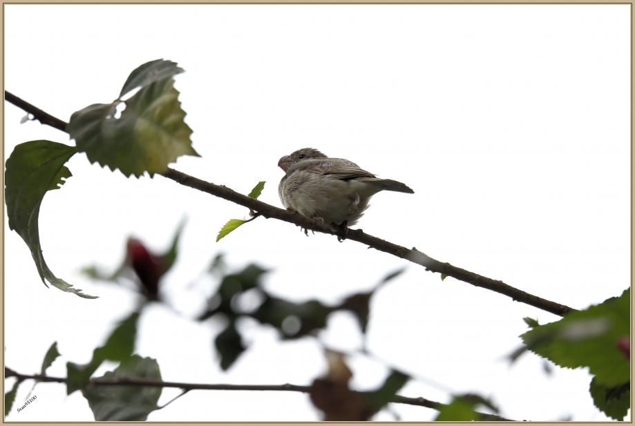 UE8A6199 Sporophile perroquet - Parrot-billed Seedeater.jpg