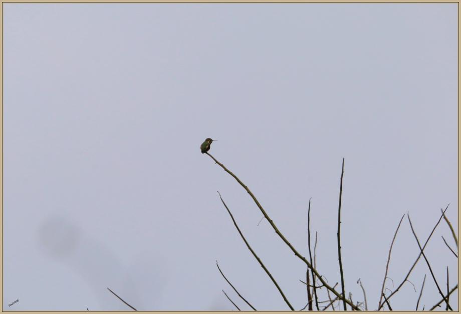 UE8A6339 colibri ile de la plata.jpg