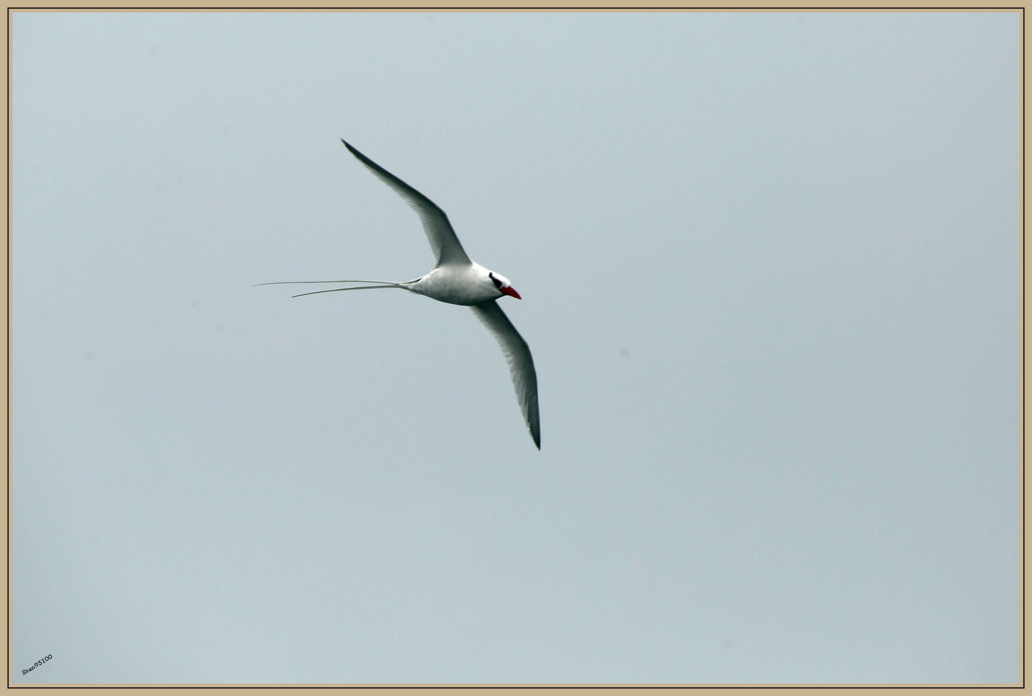UE8A6562 Phaéton à bec rouge - Red-billed Tropicbird.jpg