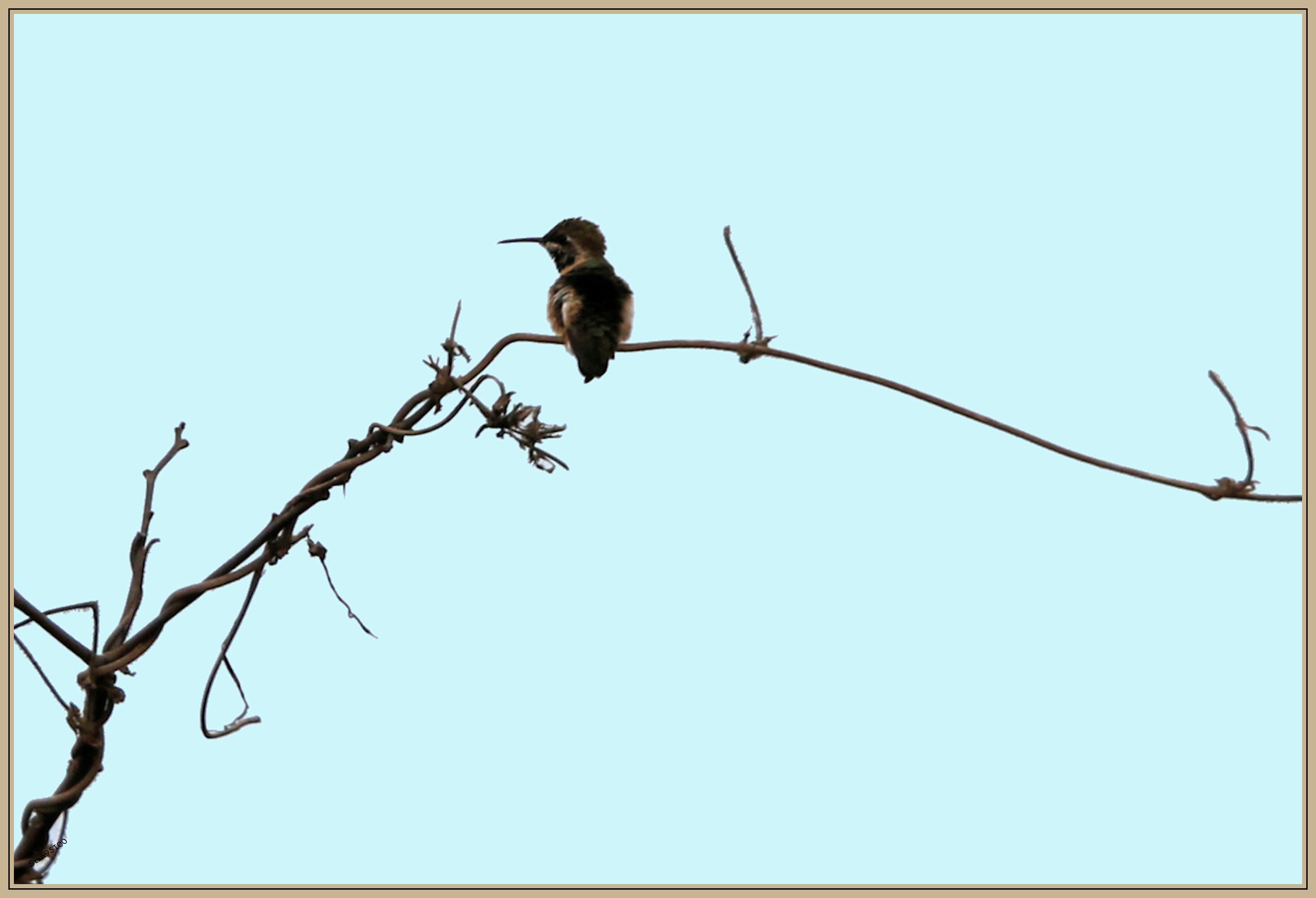 UE8A6477 Colibri île de la plata.jpg