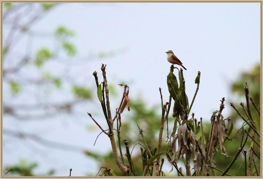 UE8A7031 Moucherolle de Gould femelle.jpg