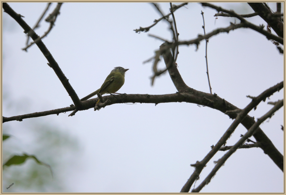 UE8A7112 Platyrhynque jaune-olive.jpg