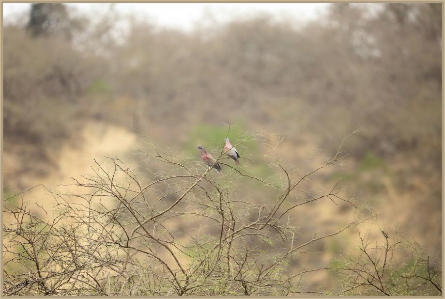 UE8A7646 Pigeon rousset .jpg