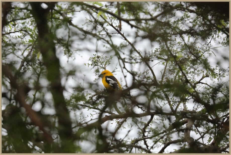 UE8A7502 Cardinal à tête jaune.jpg