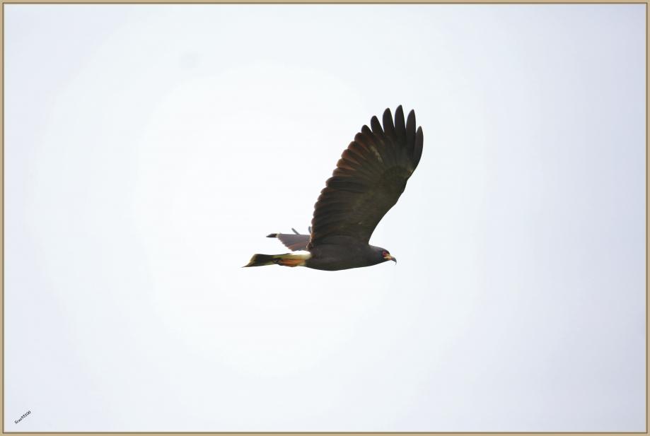 UE8A8547 Milan des marais adulte vol.jpg