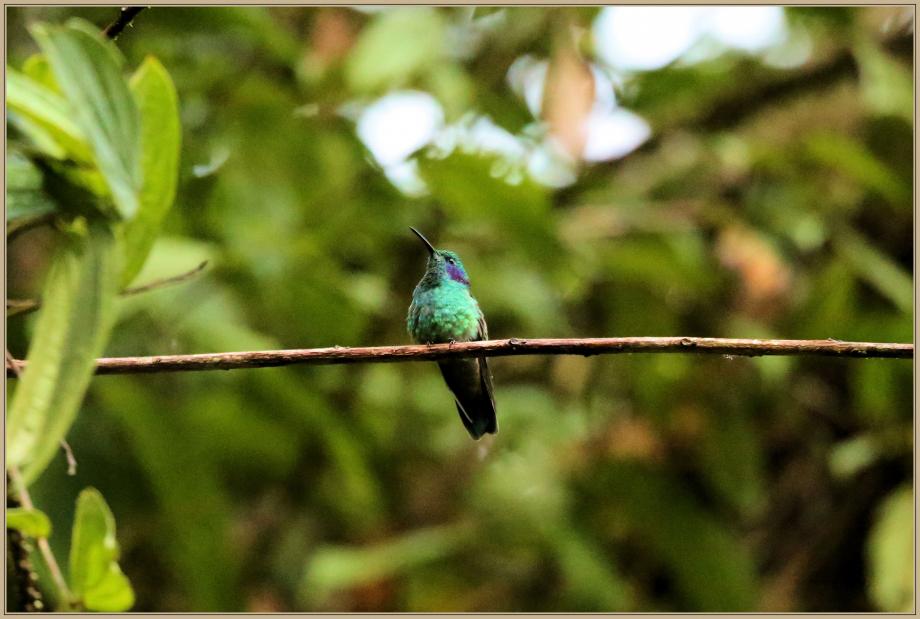 UE8A0583 Colibri anaïs.jpg