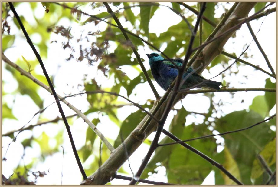 UE8A8835  Caliste à cou bleu.jpg