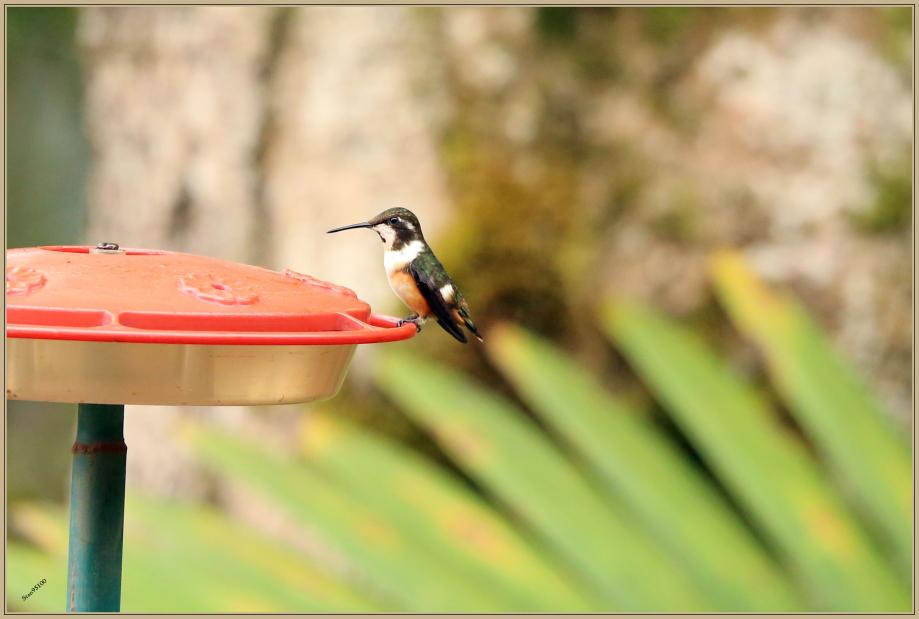 UE8A3001 Colibri de Mitchell.jpg