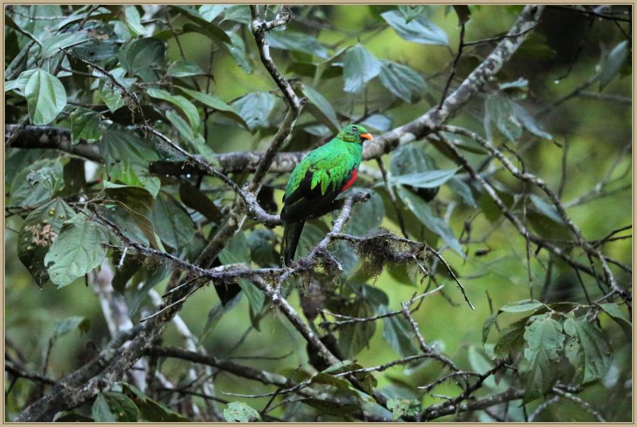 UE8A0440 Quetzal doré.jpg