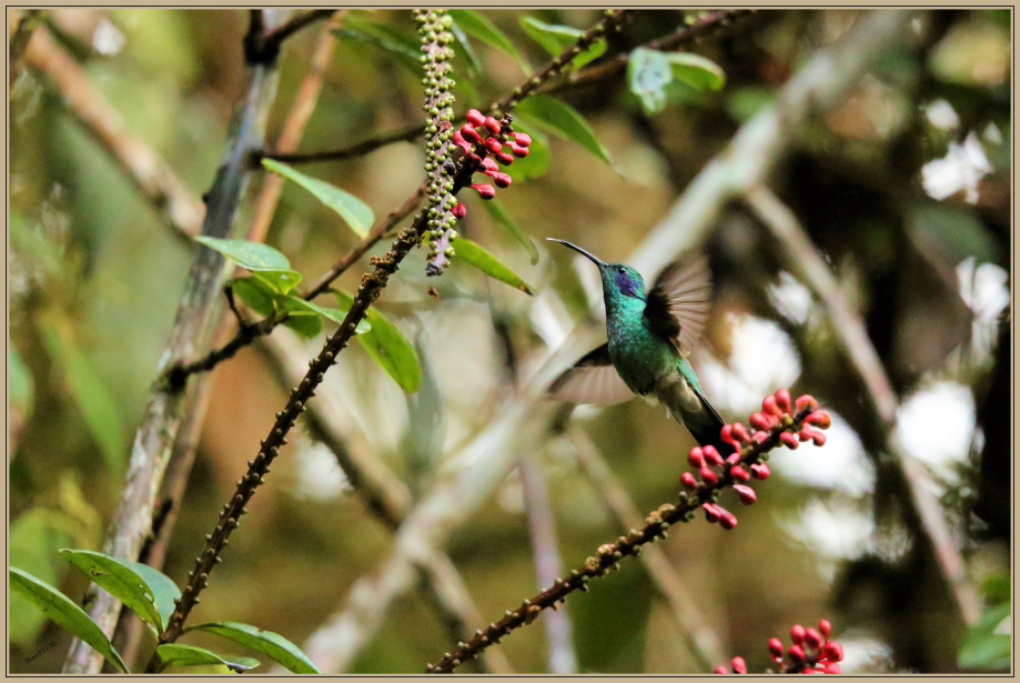 UE8A0594 Colibri Anais.jpg