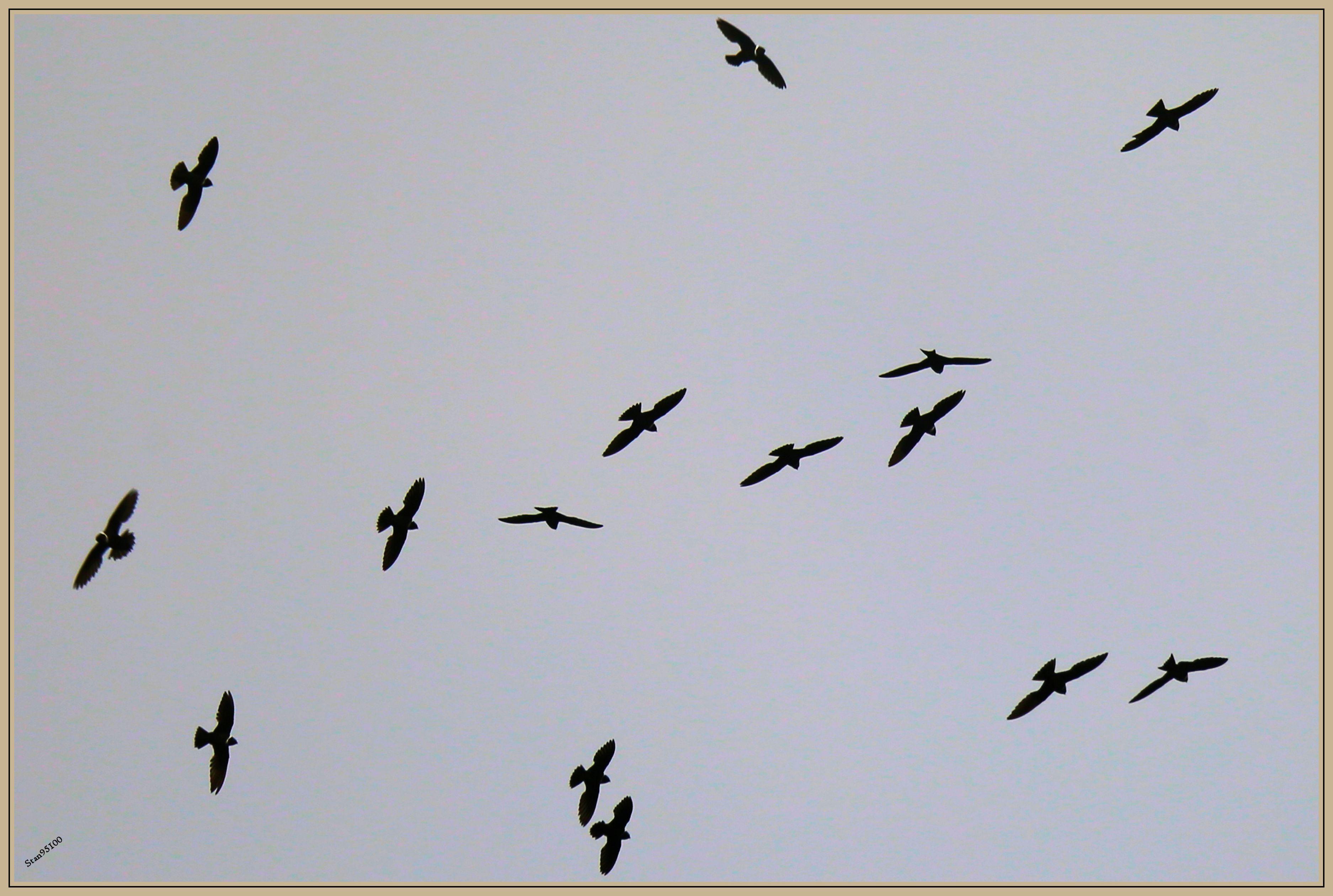 UE8A0530 Martinet à collier blanc.jpg