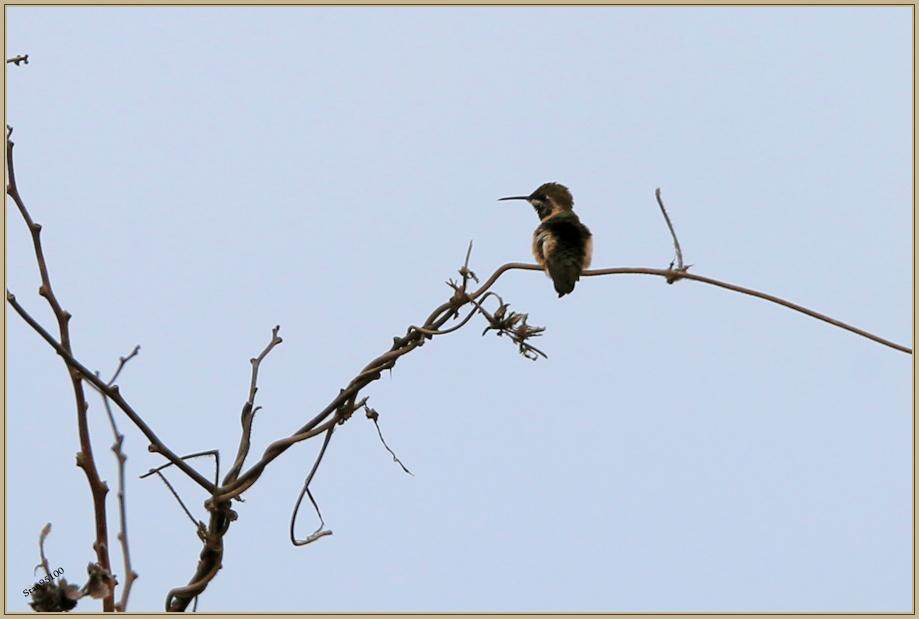 UE8A6477 colibri île de la plata..jpg