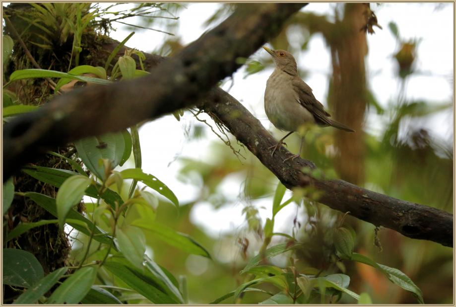 UE8A1583 Merle d'Equateur.jpg
