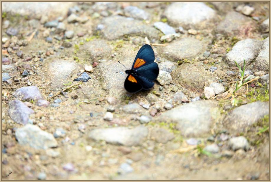 UE8A2425 Papillon.jpg