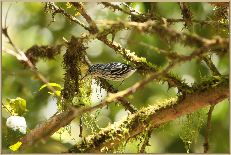 UE8A5376 Myrmidon du Surinam.jpg