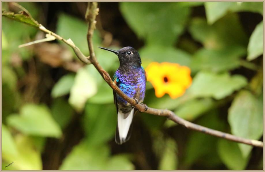 UE8A1613 Colibri de Jardine.jpg