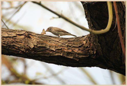 Gobemouche gris (Muscicapa striata),