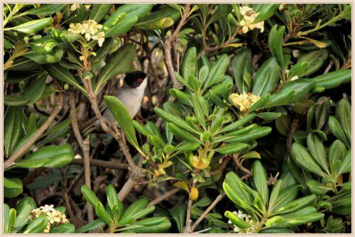 Fauvette mélanocéphale ( Sylvia melanocephala )
