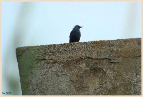 Monticole bleu  ( Monticola solitarius )