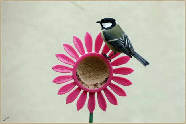 Janvier 2020 : Oiseaux du jardin