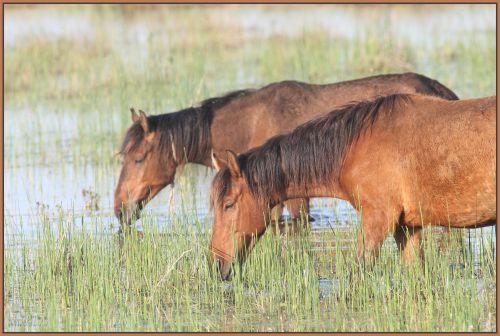 cheval en semi liberté en Roumanie 2010