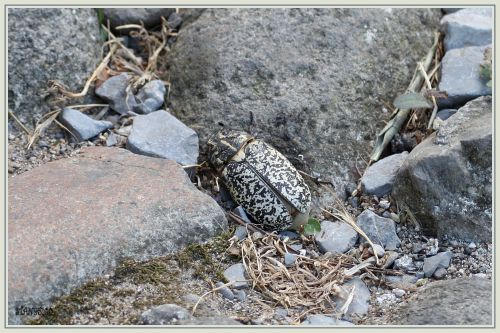 Hanneton foulon  ( Polyphylla fullo ) femelle