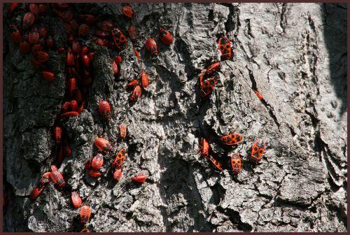 LE GENDARME OU SUISSE  (Pyrrhocoris apterus, Hétéroptère Pyrrhocoridae)