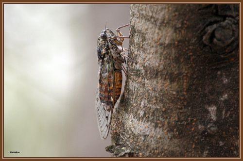 Cigale ( Cicada orni )