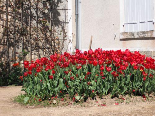 Les tulipes vous disent
