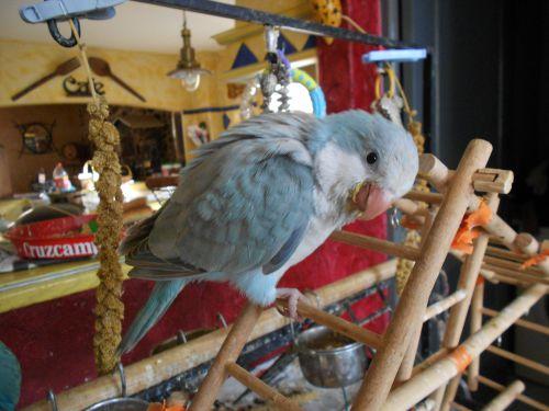 PAULIE : femelle perruche souris cinamon née le 5 juin 2013 vendue à vanessa