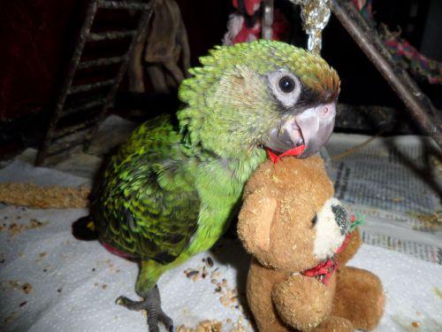 PERLA :femelle perroquet de jardine née le 25 mai 2014, bague EB 34 01 , vendue à élodie