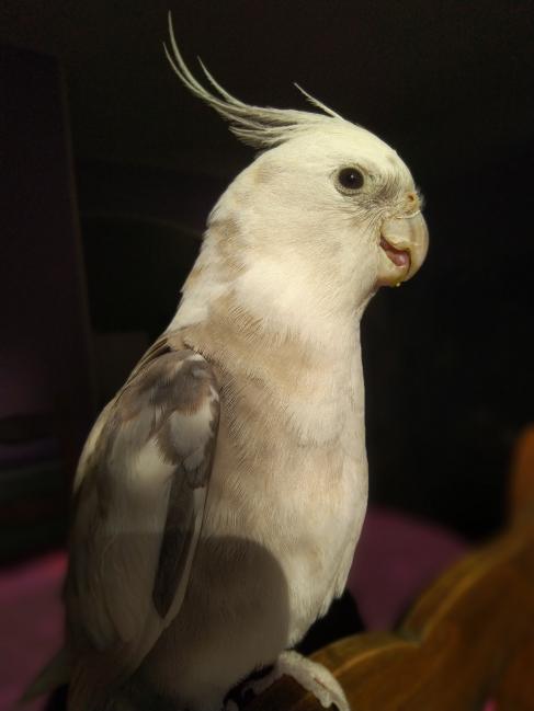 mâle calopsitte face blanche cinamon ,EAM