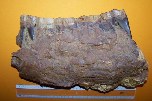 Brachypotherium brachypus, mandibule adulte.