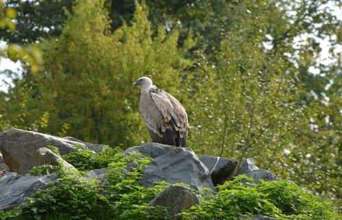 vautour-fauve.jpg