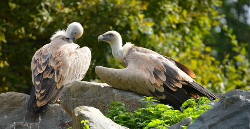 vautour-fauve3.jpg